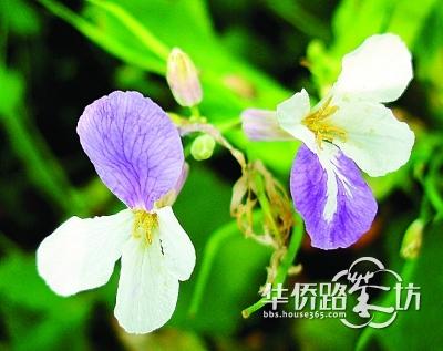 当深蓝紫色遇到白色,繁衍出来的后代